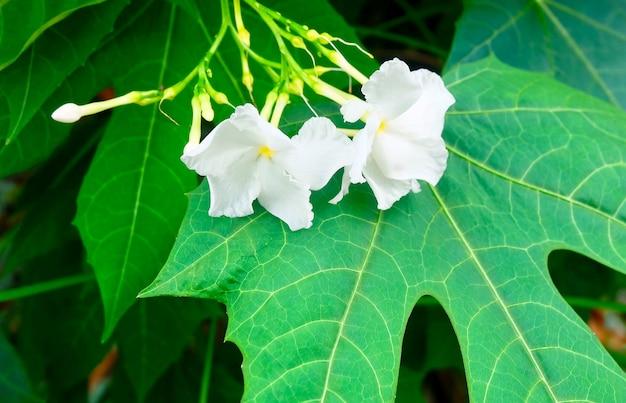 Lindas flores de jasmim de cabo branco nas folhas Foto Premium