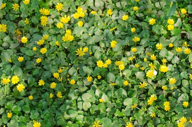 Lindas flores de primavera amarelo com folhas verdes, plano de fundo para o projeto, papel de parede natural Foto Premium