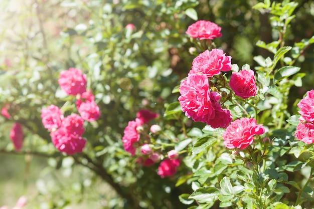 Lindas rosas cor de rosa no jardim Foto Premium