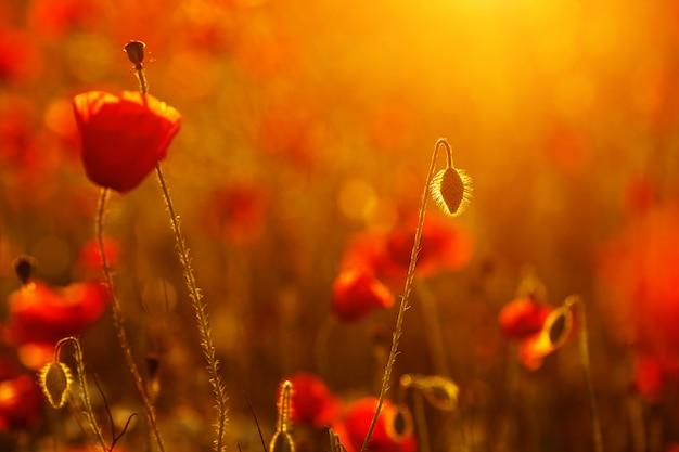 Lindas vermelhas papoilas escarlate no pôr do sol close-up no campo Foto Premium