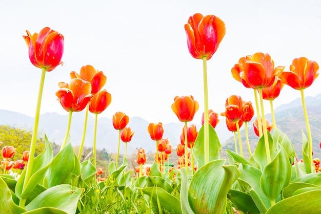 Lindo buquê de tulipas na temporada de primavera. Foto Premium
