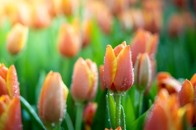 Lindo buquê de tulipas no jardim Foto Premium