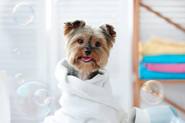 Yorkshire enrolado em uma toalha depois do banho
