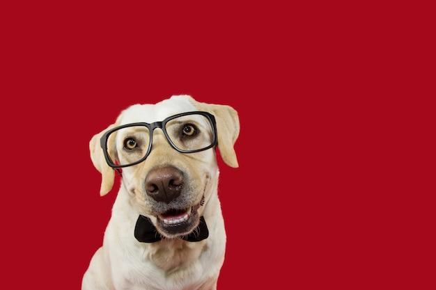 Lindo cão labrador vestindo óculos e gravata preta Foto Premium