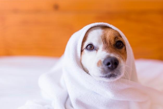 Lindo cão pequeno adorável ficar seco com uma toalha branca no banheiro. casa. dentro de casa. Foto Premium