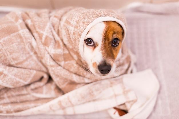 Lindo cão pequeno adorável ficar seco com uma toalha no banheiro. casa. dentro de casa. Foto Premium