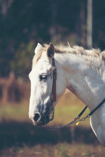 Lindo cavalo branco com retrato de juba longa Foto Premium