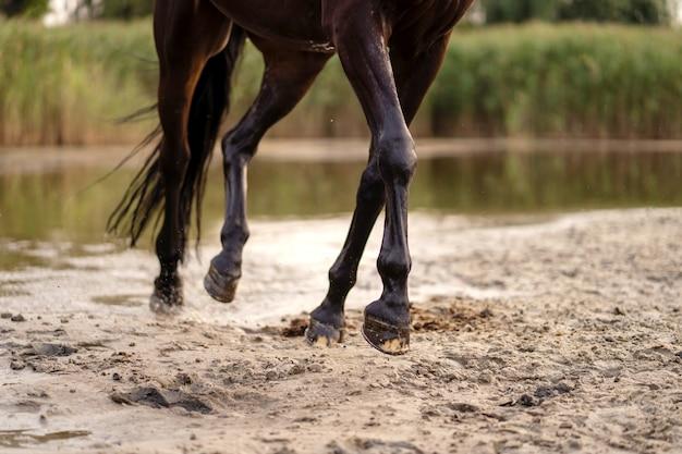 Lindo cavalo escuro bem preparado para uma caminhada à beira do lago. um cavalo corre sobre a água. força e beleza Foto Premium