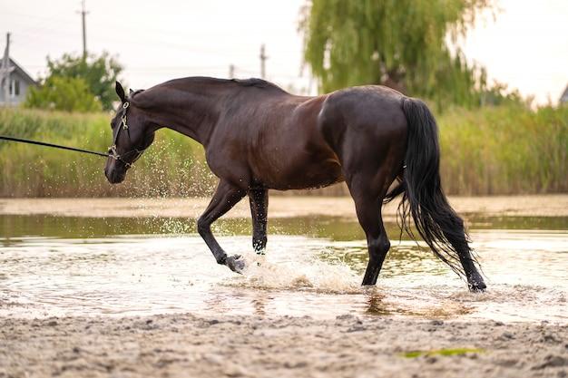Lindo cavalo escuro bem preparado para uma caminhada à beira do lago, um cavalo corre sobre a água, força e beleza Foto Premium