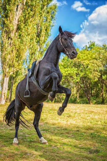 Lindo cavalo negro fica em suas patas na natureza Foto Premium