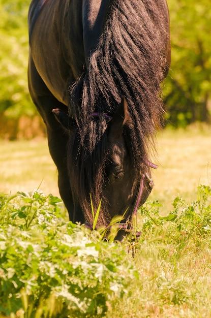 Lindo cavalo preto ao ar livre. o conceito de andar. Foto Premium