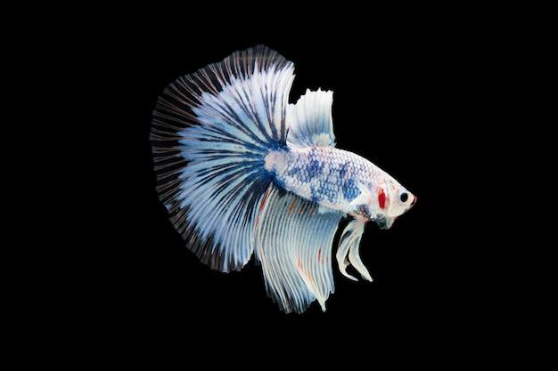 Lindo colorido de peixe betta siamês Foto gratuita