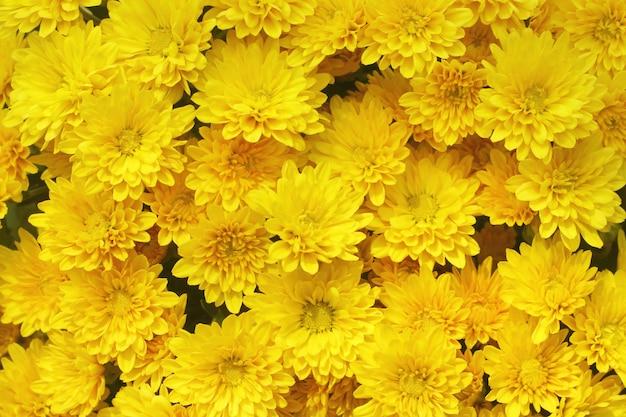 Lindo dente de leão, flores amarelas está florescendo no jardim. Foto Premium