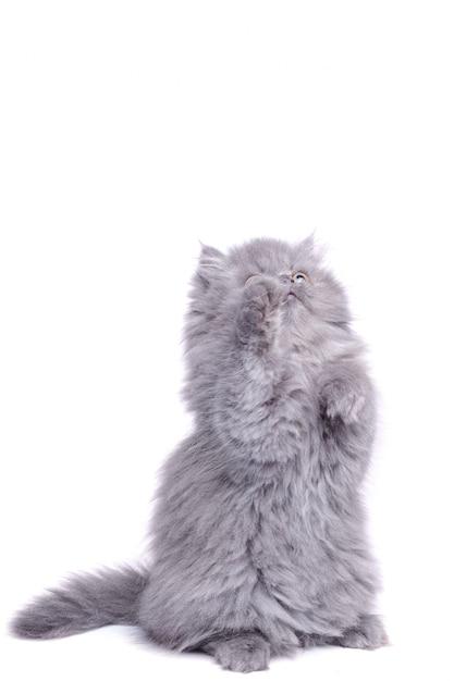 Lindo gatinho nas patas traseiras Foto Premium