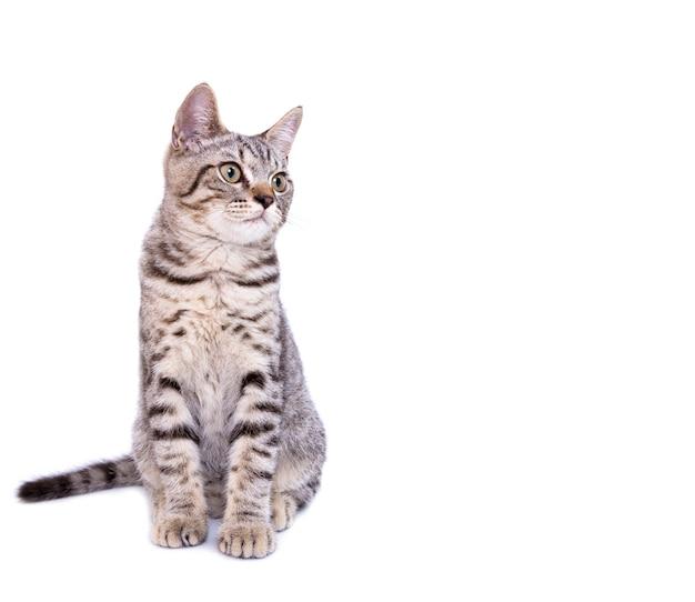 Lindo gato cinzento isolado em um branco Foto Premium