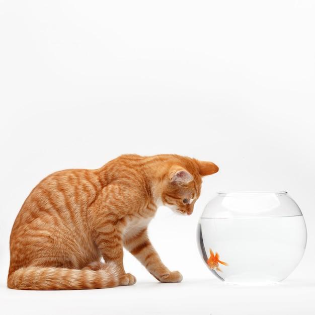 Lindo gato vermelho brinca com um peixe decorativo dourado em um aquário redondo. Foto Premium