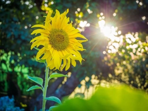 Lindo girassol amarelo sob o céu brilhante de tirar o fôlego Foto gratuita