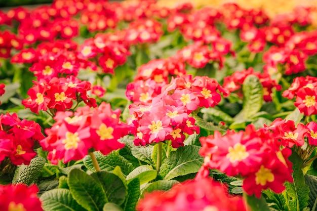 Lindos arbustos de flor vermelha e amarela na primavera Foto gratuita