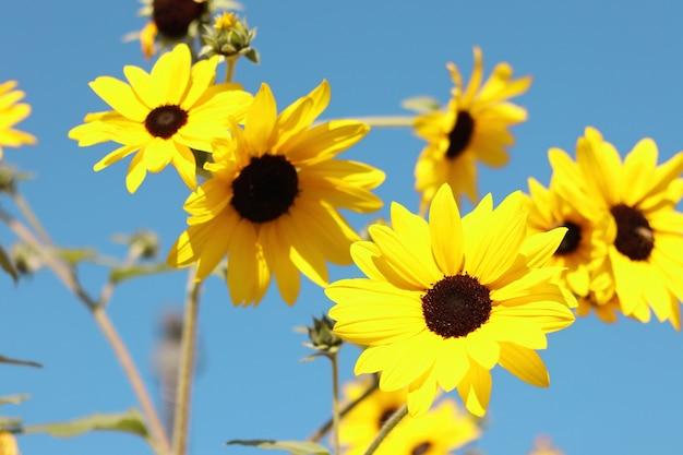 Lindos girassóis florescendo no campo com o céu azul. Foto Premium