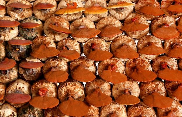 Lingzhi cresce o crescimento de cogumelos (ganoderma lucidum) na fazenda de cogumelos. Foto Premium