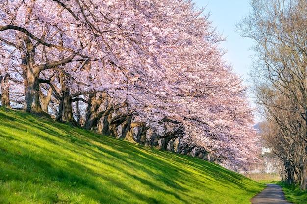 Linha de árvores de flores de cerejeira na primavera, kyoto no japão. Foto gratuita