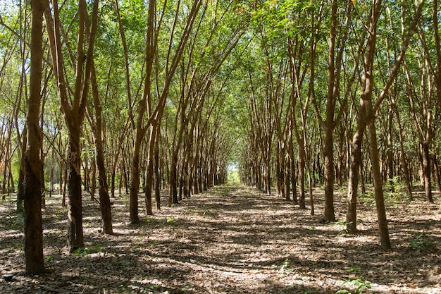Linha de borracha para para. plantação de borracha Foto Premium