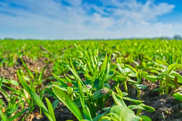 Linhas de trigo de inverno saltado em um campo sob um céu azul com nuvens Foto Premium