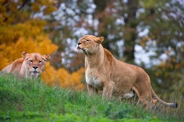 Lionesses no selvagem Foto Premium