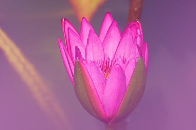 Lírio de água cor-de-rosa fresco do nymphaea do close-up ou lotus bud flower cor-de-rosa. Foto Premium