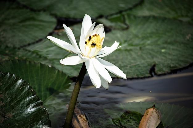 Lírio de água de florescência bonito Foto gratuita