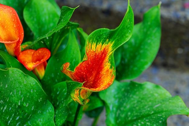 Lírio de calla com gotas folha de lírio de calla laranja parcial como ornamento Foto Premium