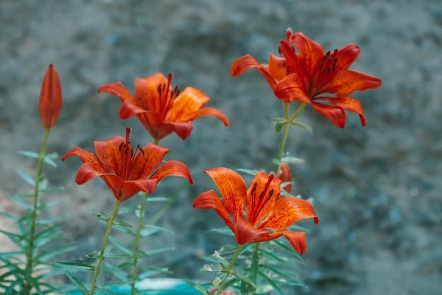 Lírio de florescência vermelho bonito no macro Foto Premium