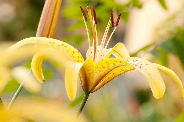 Lírio laranja no campo amarelo Foto Premium