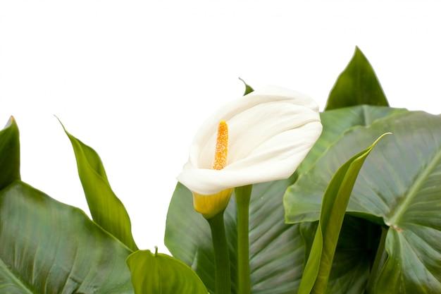 Lírios brancos com folha Foto Premium