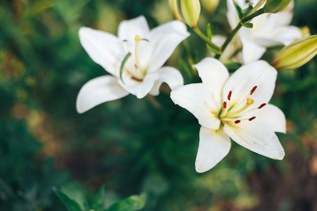 Lírios brancos no jardim em um fundo verde Foto Premium