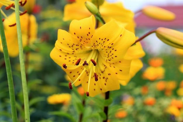 Lírios híbridos asiáticos amarelos no canteiro de flores. ramalhete do crescimento de flores frescas no jardim do verão. fechar-se. Foto Premium
