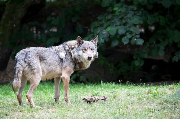 Lobo em uma clareira Foto Premium
