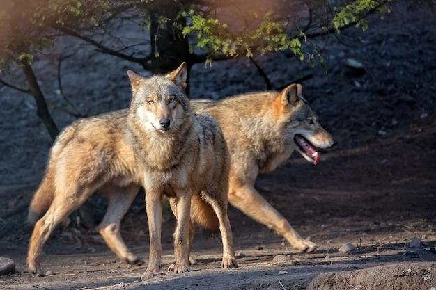 Lobo na floresta Foto Premium