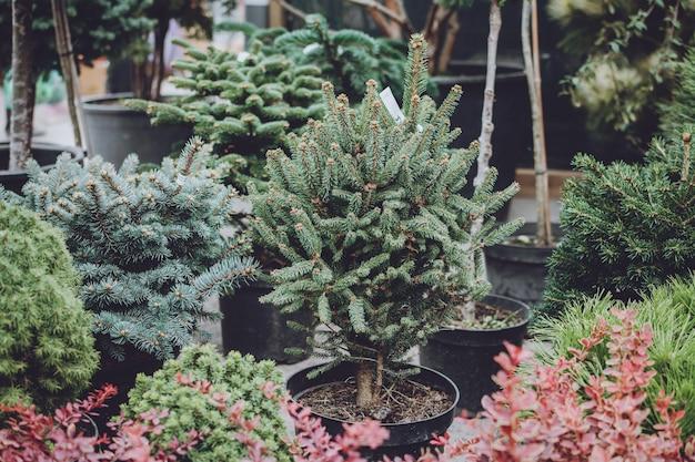 Loja de árvore de natal. árvores de natal enfeitar em vasos para venda. Foto Premium