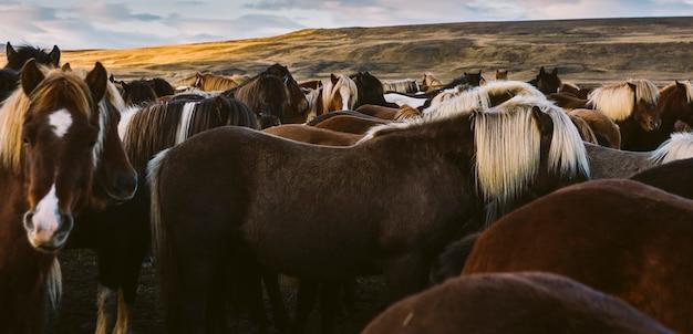 Lombo e juba de muitos cavalos islandeses juntos. Foto Premium