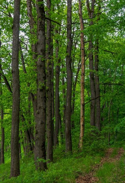 Longos troncos de carvalhos na floresta de verão Foto Premium