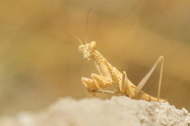 Louva-a-deus (mantis religiosa) sentado e caçando em uma rocha Foto Premium