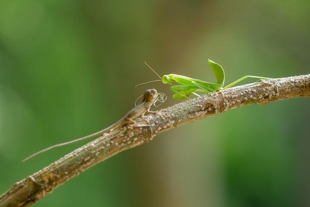 Louva-a-deus na árvore ramo Foto gratuita