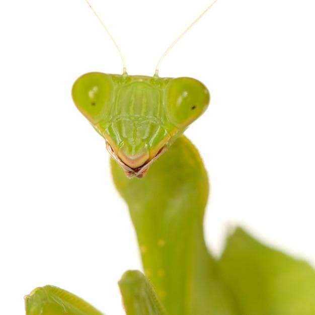 Louva-deus - mantis religiosa isolado Foto Premium
