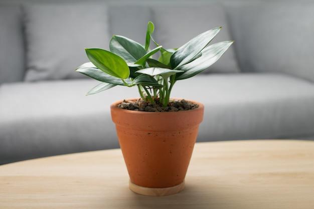 Luar de scindapsus treubii em panela de barro na mesa de madeira na sala de estar. planta de casa. plantas de purificação de ar Foto Premium