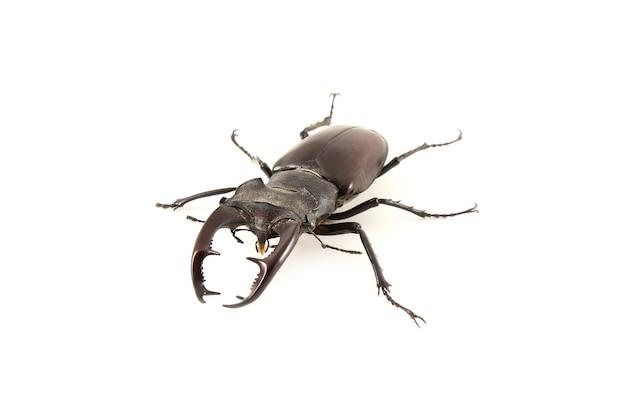 Lucanus cervus. besouro de veado em um fundo branco. Foto Premium
