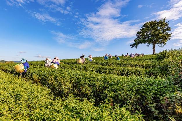Luz da manhã na plantação de chá verde de choui fong, um dos belos pontos de turismo agrícola no distrito de mae chan Foto Premium