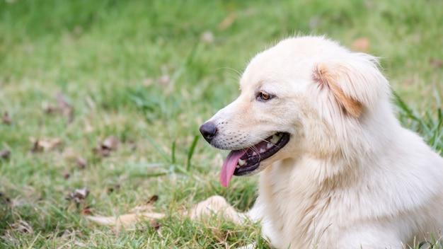 Luz marrom cachorro sentado em uma grama. Foto Premium