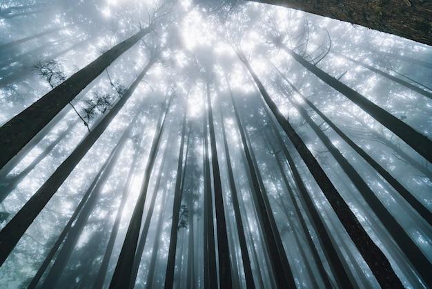 Luz solar direta através das árvores de cedro japonês com névoa na floresta na área de recreação da floresta nacional de alishan. Foto Premium
