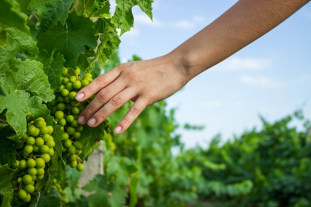 Luz solar morna da sagacidade das videiras na mão. agricultor, examinando, uvas crescentes Foto Premium